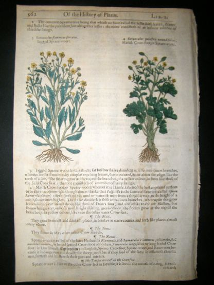 Gerards Herbal 1633 Hand Col Botanical Print. Rannunculus Spearwort | Albion Prints